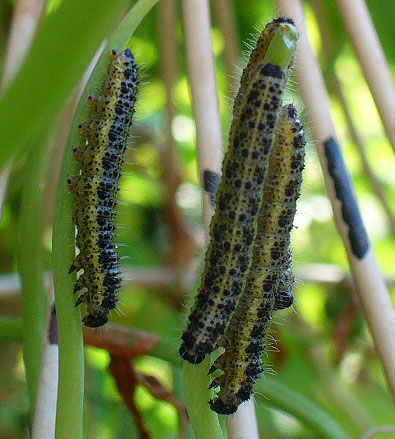 I found these caterpillars on
