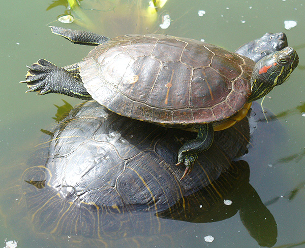 sunbathing tortoise